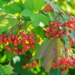 Red viburnum — Stock Photo