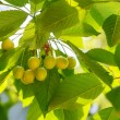 Unripe green cherries — Stock Photo #32879007