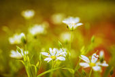 Stellaria blooms — Stock Photo