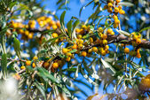 Yellow sea buckthorn — Stock Photo