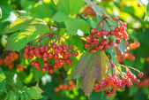 Red viburnum — 图库照片