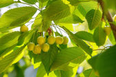 Unripe green cherries — Stock Photo