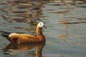 Kahverengi ördek — Stok fotoğraf
