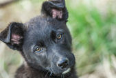Puppy black — Stock Photo