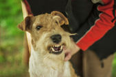 Dog breed Fox-Terrier — Stock Photo
