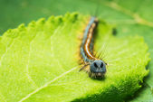 Caterpillar Euthrix potatoria — Stock Photo