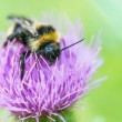 Bumblebee on clover flower — Stock Photo #47910307