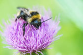Bumblebee on clover flower — Stock Photo