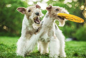 Two dog breeds Fox-Terrier — Stock Photo