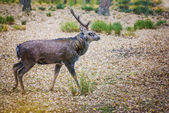 Dappled deer — Stock Photo