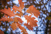 Orange oak leaves — Stock Photo