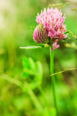 Red clover flower — 图库照片