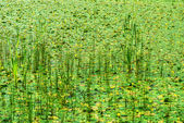 Marsh overgrown with reeds — Stock Photo