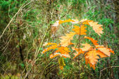 Orange oak leaves — Stock Photo