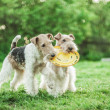 ������, ������: Two dog breeds Fox Terrier