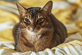 Abyssinian cat — Stock Photo