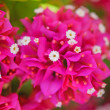 Bougainvillea — Stock Photo #48878063