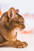 Abyssinian cat — Photo