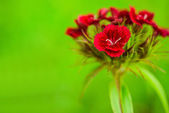 Dianthus barbatus — Stock Photo