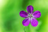 Bodziszek łąkowy — Zdjęcie stockowe