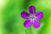 Geranium pratense — Stock Photo