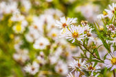 Aster amellus — Stock Photo