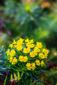 Euphorbia cyparissias — Stock Photo