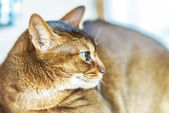 Abyssinian cat — Foto Stock