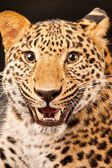Growling leopard — Stock Photo