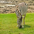 Striped zebra — Stock Photo #49492497