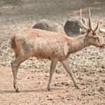 Wood deer — Stock Photo #49492589