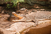 Nilotic crocodile — Stock Photo