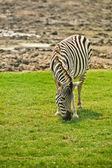 Striped zebra — Stock Photo