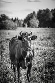 Cow eats a grass — Foto Stock
