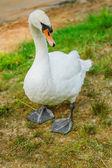 Hermoso cisne blanco — Foto de Stock