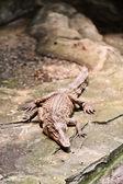 Nilotic crocodile — Stok fotoğraf