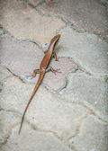 Small nimble lizard — Stock Photo