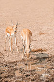 Due impala maschio — Foto Stock