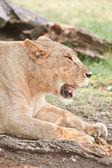 Grande lionne — Photo