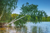 White birch, bent down to river — Stock Photo