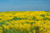 Yellow rapeseed — Stock Photo