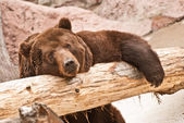 Big brown bear — Stock Photo