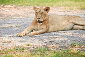 Big lioness — Stock Photo