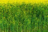 Yellow rapeseed — Stock Photo