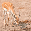 Male impala — Stock Photo #51431319
