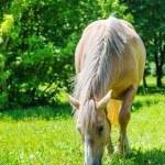 Piebald horse grazing — Stock Photo #51432173