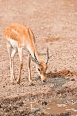 Macho impala — Foto de Stock