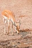 Männlicher impala — Stockfoto