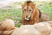Grande leone — Foto Stock