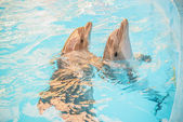 Two dolphin in basin of oceanarium — Stock Photo